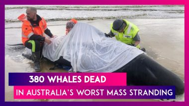 380 Whales Of The Nearly 500 Die In One Of The Worst Mass Stranding In Australia's History; 70 Whales Rescued From The Worst Mass Beaching