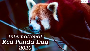 International Red Panda Day 2020: Interesting Facts About the Endangered Animal That Live on the Trees!