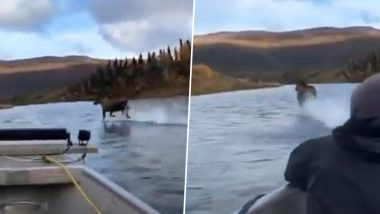 Moose Running on Water Leaves Netizens Stunned! Viral Video Shows the Beautiful Animal Speedily Moving Over River