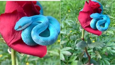 Video of RARE Blue Pit Viper Curled Over Red Rose Goes Viral; Know Places to Find the Beautiful But Highly Venomous Snake in the World