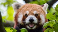 On International Red Panda Day 2020, Know 5 National Parks to Spot This Mysterious Animal in India