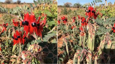 Sturt's Desert Pea Blooms Across South Australia, State's Bright Red Floral Emblem Looks Gorgeous, See Pictures of the Wild Flower