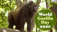World Gorilla Day 2020 Date And Significance: Know The History of the Observance That Creates Awareness About Protection And Conservation of Gorilla