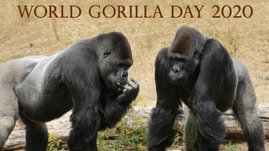World Gorilla Day 2020 Facts: Did You Know Gorillas Make a New Bed Everyday? Know Interesting Facts About the Ape
