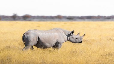World Rhino Day 2020: From Funny Sounds to Friendship With Birds, Know Interesting Facts About Giant Rhinoceros