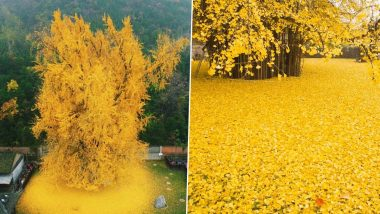 Ginkgo Tree Planted in an Ancient Chinese Buddhist Temple Sheds Spectacular Ocean of Fall Golden Leaves, Old Pics of the 1,400-YO Tree Giving Scenic View Resurfaces Online