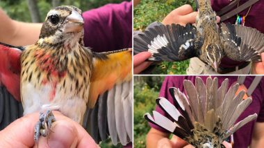 Extremely Rare Grosbeak Bird That Is Male on One Side and Female on the Other Found by Biologists! Striking Pics Will Take Your Breath Away
