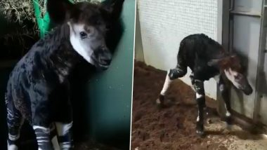 Baby Okapi, Endangered Forest Giraffe Born at ZSL London Zoo Takes His First Steps Minutes After the Birth, Know More About the Animal (Watch Video)