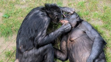 Bonobo Sexual Behaviour: Bisexual Female Apes Make Lengthy Eye Contact to Develop Bonds with Each Other, Says Research