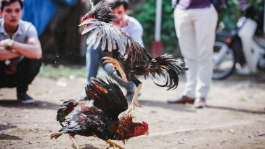 Murderer Cock! Rooster Brutally Kills Police Officer During Raid of Illegal Cockfight in Philippines' Northern Samar