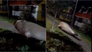 Huge Elephant Seal Seen Moving Around Coastal Town of Chile, Rescue Forces Help It Find Way Back to Sea! Videos Go Viral