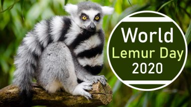 World Lemur Day 2020: Did You Know a Species of These Mammals Could Sing? Know 9 Interesting Facts About the Animal Found Only in Madagascar