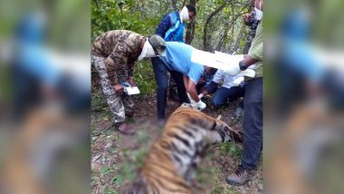 Pregnant Tigress  Found Dead in Umred Pauni Karhandla Wildlife Sanctuary, Forest Officers Discover 4 Foetuses Aborted Nearby