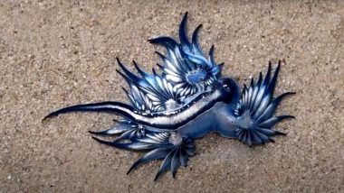 Shocking! Dragon-like Blue Sea Creatures Show up on Cape Town Beach! Know More About 'The Most Beautiful Killer in the Ocean' (Watch Video)