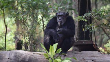 Suzi, Hyderabad Zoo's Popular Inmate Chimpanzee, Dies by Heart Attack