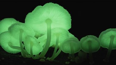 Glowing Mushrooms Found in Meghalaya: Know How These Bioluminescent Fungi Species Emit Light at Night (Watch Videos)