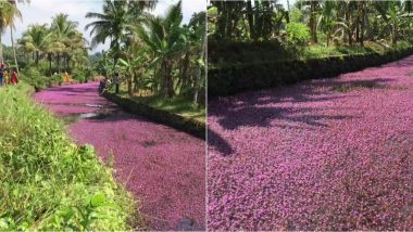 Kerala Village Adorns in Pink Flowers as Plant Blooms in Water Bodies, See Pics of Forked Fanwort
