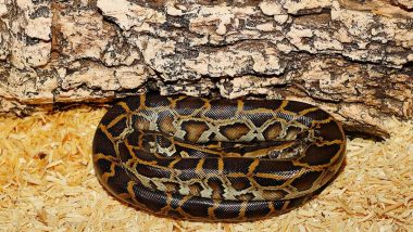 Eating Pythons? Florida Officials Consider Hunting Burmese Python Snakes for Meat Because of Their Rising Population in Everglades!