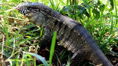 Dog-Sized Lizards Are Taking Over South Eastern US, Biologists Express Concern of Argentine Tegu Invasive Species That 'Eat Just Anything'
