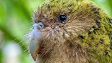 World's Fattest Parrot, Kakapo, Wins New Zealand Bird of the Year 2020 Title Amid 'Voter Fraud' Claims (See Picture)