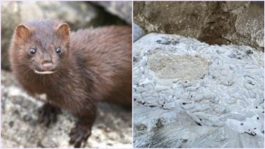Rise of The Dead Minks! Carcasses of Animals Culled to Prevent Mutated COVID-19 in Denmark Emerge From Mass Grave, Creepy Pics Surface Online