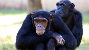 Chimpanzees in West Africa Affected With Leprosy for the First Time! Chronic Infectious Disease Infected Animals at National Parks