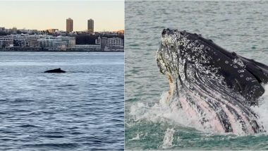 Humpback Whale Spotted Swimming in Hudson River Near Statue of Liberty in New York, Watch Viral Video