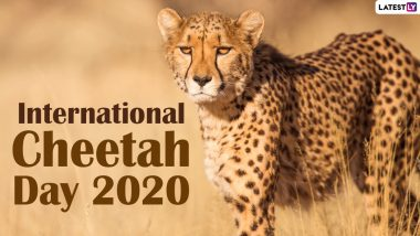 International Cheetah Day 2020: Did You Know Cheetahs Can Spot Prey From 5 kms Away? Know Interesting Facts About the Wild Cat