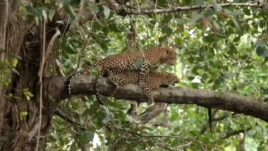 'Wild' Sight! Leopards Mating on Tree Branch in Bandhavgarh Tiger Reserve in Madhya Pradesh Captured on Camera, Rare Video Footage Goes Viral