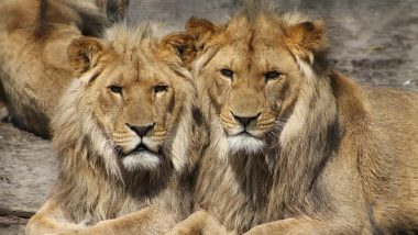 Hyderabad: 8 Asiatic Lions at Nehru Zoological Park Test COVID-19 Positive, 1st Such Case in India