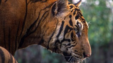 Maharashtra: One Man Killed by Tiger, Two Hurt in Sloth Bear Attack in Chandrapur Forest