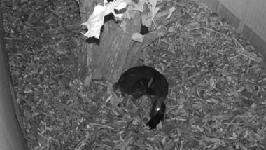 Mouse-Deer Gives Birth in Polish Zoo, Rare Footage Caught on Camera for First Time Ever (Watch Video)