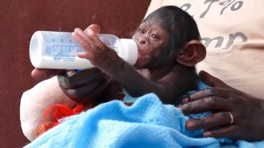 Orphan Baby ChimpGetting'Milk Drunk' Will Remind You Of Your Childhood! Cute Video From Ngamba Island Chimpanzee Sanctuary is Going Viral