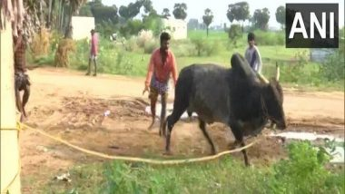 Jallikattu 2021: Bull Trainers in Madurai Gear Up for Bull-Leaping Festival as Pongal Approaches