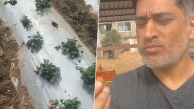 MS Dhoni Eats Strawberry at His Farm House in Ranchi, Says 'If I Keep Eating There Won't be Any Left for the Market' (Watch Video)