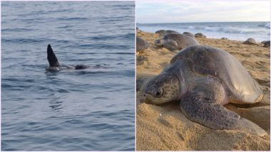 Mating Pairs of Olive Ridley Turtles Arrive on Odisha Coast, Know Why its Important to Conserve the Shore for Good 'Arribada' (See Pics)