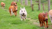 African Swine Fever: New Strain of Virus in China Indicates Unlicensed Vaccination of Pigs