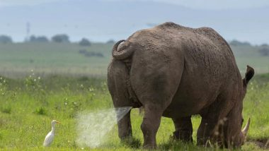 Regret Like an Egret! Bird Gets Unfortunately Showered by Rhino's Urine in Kenyan National Park, See Funny Pic of Unusual Sight
