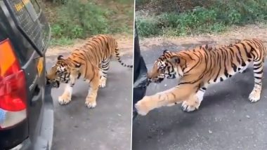 Close Call! Bengal Tiger Pulls a Safari Tourist Vehicle in Bengaluru's Bannerghatta National Park, Scary Video Goes Viral