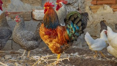 Bird Flu Outbreak: Should Eggs and Chickens Be Avoided? Here's What WHO Recommends