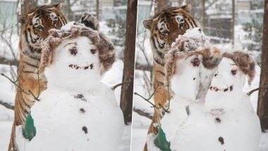 Big Cat-Tack! Siberian Tiger Pounces Snowman in Finland Zoo, Stunning Photos Capture the Animal Chopping Its Head in Half With Grr-Eat Big Paw