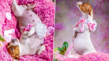 Oh My Dogness! Pregnant Dog Gets Maternity Photoshoot and the Pics Will Melt Your Heart, Viral Twitter Thread Documents Amazing Journey of Expectant Canine Moms and Their Lil Puppies