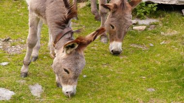 Donkey Meat Becoming Popular in Parts of Andhra Pradesh, Illegal Slaughter on Rise: Report