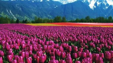 Kashmir's Tulip Festival 2021 Dates, Travel Tips & Itinerary: Everything You Want to Know About the Beautiful Celebration of Spring Arrival at Indira Gandhi Memorial Tulip Garden