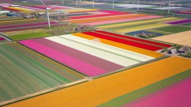 Sarcastic Tweet Labelling Amsterdam Tulip Field As Kaas Pathaar Goes Viral; Netizens Come Up With Their Versions