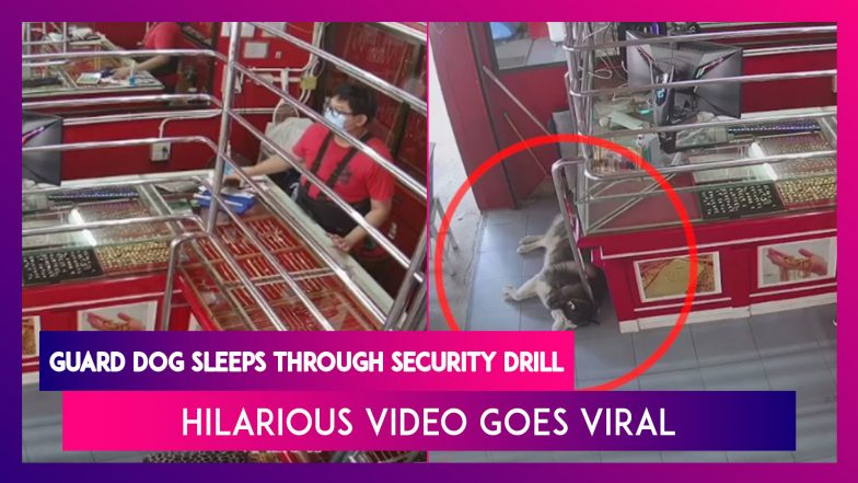 Guard Dog Sleeps Through Security Training Drill, Hilarious Video Goes Viral