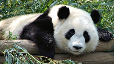 Wild Giant Pandas in China Downgraded From 'Endangered' to 'Vulnerable' Category Amid Efforts to Protect Biodiversity