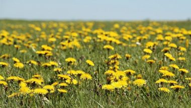Weed Appreciation Day 2021 Date, History and Significance: Know All About the Day Dedicated to Honour the Usefulness of Weeds in Medicine