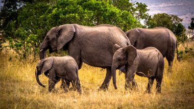 Tamil Nadu: 28 Elephants in Mudumalai Tiger Reserve in Nilgiri District Tested for COVID-19