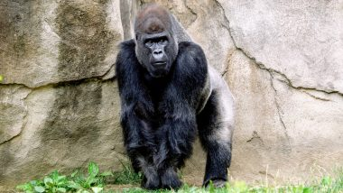 San Diego Zoo Great Apes Become First Non-Humans to Receive COVID-19 Vaccine! Here Are Other Animals That Have Been Affected by Coronavirus in The Past